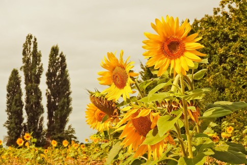 sunflower-3623331_1920
