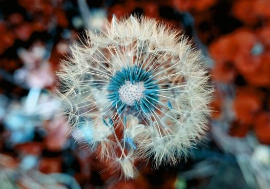 dandelion-3597681_1920