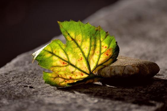 leaf-3685707_1920