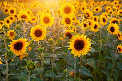 sunflower-3550693_1920