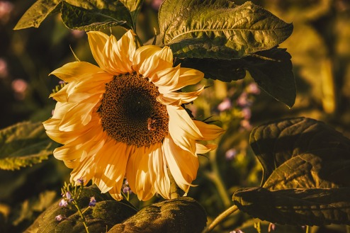 sunflower-3759285_1920